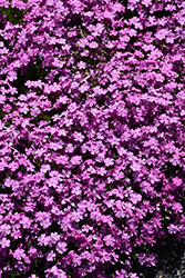 Emerald Pink Moss Phlox (Phlox subulata 'Emerald Pink') at Skillins Greenhouse
