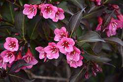 Wine and Roses® Weigela (Weigela florida 'Alexandra') at Skillins Greenhouse