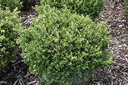 Franklin's Gem Boxwood (Buxus microphylla 'Franklin's Gem') at Skillins Greenhouse