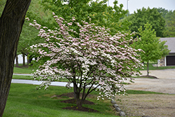 Stellar Pink Flowering Dogwood (Cornus 'Stellar Pink') at Skillins Greenhouse