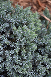 Blue Star Juniper (Juniperus squamata 'Blue Star') at Skillins Greenhouse