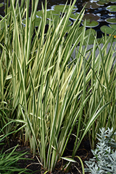 Variegated Sweet Flag (Acorus calamus 'Variegatus') at Skillins Greenhouse