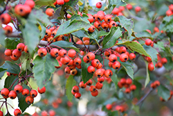 Winter King Hawthorn (Crataegus viridis 'Winter King') at Skillins Greenhouse