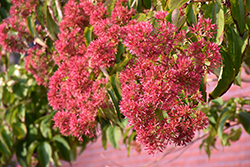 Seven-Son Flower (Heptacodium miconioides) at Skillins Greenhouse