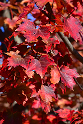 Autumn Flame Red Maple (Acer rubrum 'Autumn Flame') at Skillins Greenhouse