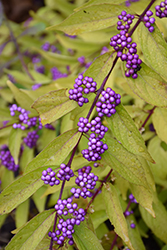 Early Amethyst Beautyberry (Callicarpa dichotoma 'Early Amethyst') at Skillins Greenhouse