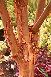 Paperbark Maple (Acer griseum) at Skillins Greenhouse