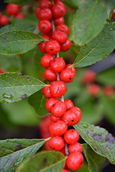 Red Sprite Winterberry (Ilex verticillata 'Red Sprite') at Skillins Greenhouse