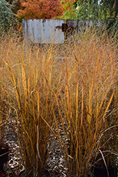 Northwind Switch Grass (Panicum virgatum 'Northwind') at Skillins Greenhouse