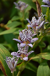 Toad Lily (Tricyrtis hirta) at Skillins Greenhouse