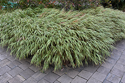 White Striped Hakone Grass (Hakonechloa macra 'Albo Striata') at Skillins Greenhouse