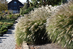 Gracillimus Maiden Grass (Miscanthus sinensis 'Gracillimus') at Skillins Greenhouse