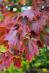 Red Sunset Red Maple (Acer rubrum 'Red Sunset') at Skillins Greenhouse