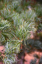Blue Japanese Pine (Pinus parviflora 'Glauca') at Skillins Greenhouse