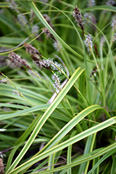 EverColor® Everlime Japanese Sedge (Carex oshimensis 'Everlime') at Skillins Greenhouse