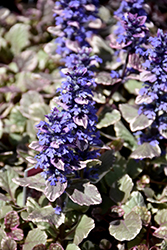 Burgundy Glow Bugleweed (Ajuga reptans 'Burgundy Glow') at Skillins Greenhouse