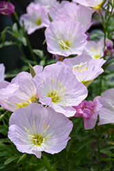 Siskiyou Mexican Evening Primrose (Oenothera berlandieri 'Siskiyou') at Skillins Greenhouse
