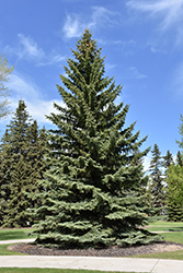 Blue Colorado Spruce (Picea pungens 'var. glauca') at Skillins Greenhouse
