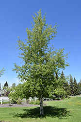 Trembling Aspen (Populus tremuloides) at Skillins Greenhouse