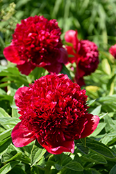 Red Charm Peony (Paeonia 'Red Charm') at Skillins Greenhouse