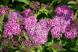 Anthony Waterer Spirea (Spiraea x bumalda 'Anthony Waterer') at Skillins Greenhouse