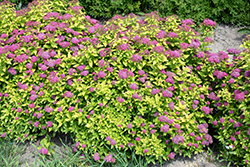 Double Play® Gold Spirea (Spiraea japonica 'Yan') at Skillins Greenhouse