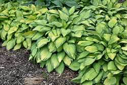 Paul's Glory Hosta (Hosta 'Paul's Glory') at Skillins Greenhouse