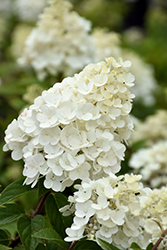 Strawberry Sundae® Hydrangea (Hydrangea paniculata 'Rensun') at Skillins Greenhouse