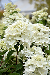 Diamond Rouge® Hydrangea (Hydrangea paniculata 'Rendia') at Skillins Greenhouse