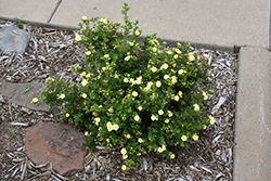 Lemon Meringue™ Potentilla (Potentilla fruticosa 'Bailmeringue') at Skillins Greenhouse