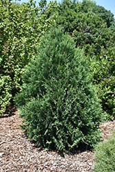 Technito® Arborvitae (Thuja occidentalis 'Bailjohn') at Skillins Greenhouse