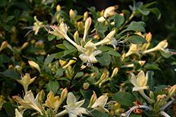 Weston's Lemon Drop Azalea (Rhododendron 'Weston's Lemon Drop') at Skillins Greenhouse
