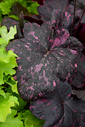 Midnight Rose Coral Bells (Heuchera 'Midnight Rose') at Skillins Greenhouse