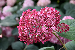 Invincibelle® Ruby Smooth Hydrangea (Hydrangea arborescens 'NCHA3') at Skillins Greenhouse