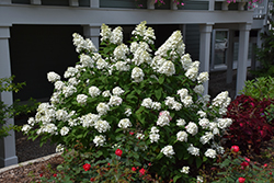 Fire Light® Hydrangea (Hydrangea paniculata 'SMHPFL') at Skillins Greenhouse