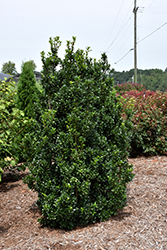 Castle Wall® Meserve Holly (Ilex x meserveae 'Heckenstar') at Skillins Greenhouse