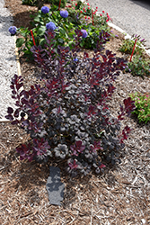 Winecraft Black® Smokebush (Cotinus coggygria 'NCCO1') at Skillins Greenhouse