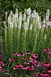 Floristan White Blazing Star (Liatris spicata 'Floristan White') at Skillins Greenhouse