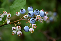 Highbush Blueberry (Vaccinium corymbosum) at Skillins Greenhouse