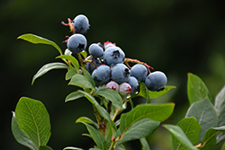 Northland Blueberry (Vaccinium corymbosum 'Northland') at Skillins Greenhouse