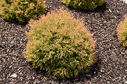 Fire Chief™ Arborvitae (Thuja occidentalis 'Congabe') at Skillins Greenhouse