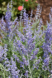 Lacey Blue Russian Sage (Perovskia atriplicifolia 'Lacey Blue') at Skillins Greenhouse