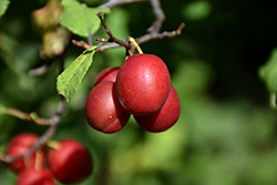 Toka Plum (Prunus 'Toka') at Skillins Greenhouse