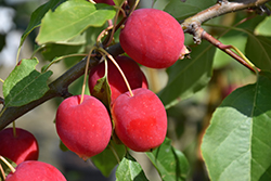 Dolgo Apple (Malus 'Dolgo') at Skillins Greenhouse