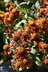 Ruby Tuesday Sneezeweed (Helenium 'Ruby Tuesday') at Skillins Greenhouse
