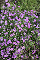 Pink Creeping Baby's Breath (Gypsophila repens 'Rosea') at Skillins Greenhouse