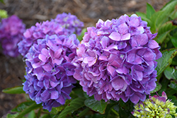 Let's Dance® Rave® Hydrangea (Hydrangea macrophylla 'SMNHMSIGMA') at Skillins Greenhouse