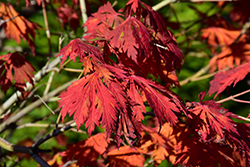 Cutleaf Fullmoon Maple (Acer japonicum 'Aconitifolium') at Skillins Greenhouse