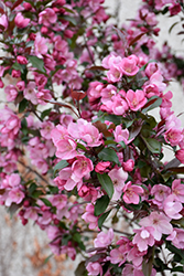 Gladiator Flowering Crab (Malus 'DurLeo') at Skillins Greenhouse