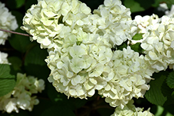 First Editions® Opening Day™ Doublefile Viburnum (Viburnum plicatum 'PIIVIB-II') at Skillins Greenhouse
